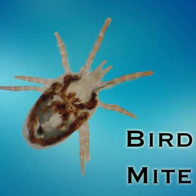 Bird Mites