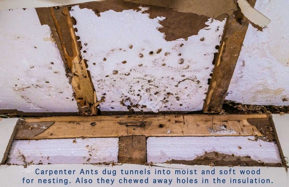 Carpenter Ants dug tunnels into moist and soft wood for nesting. Also they chewed away holes in the insulation.