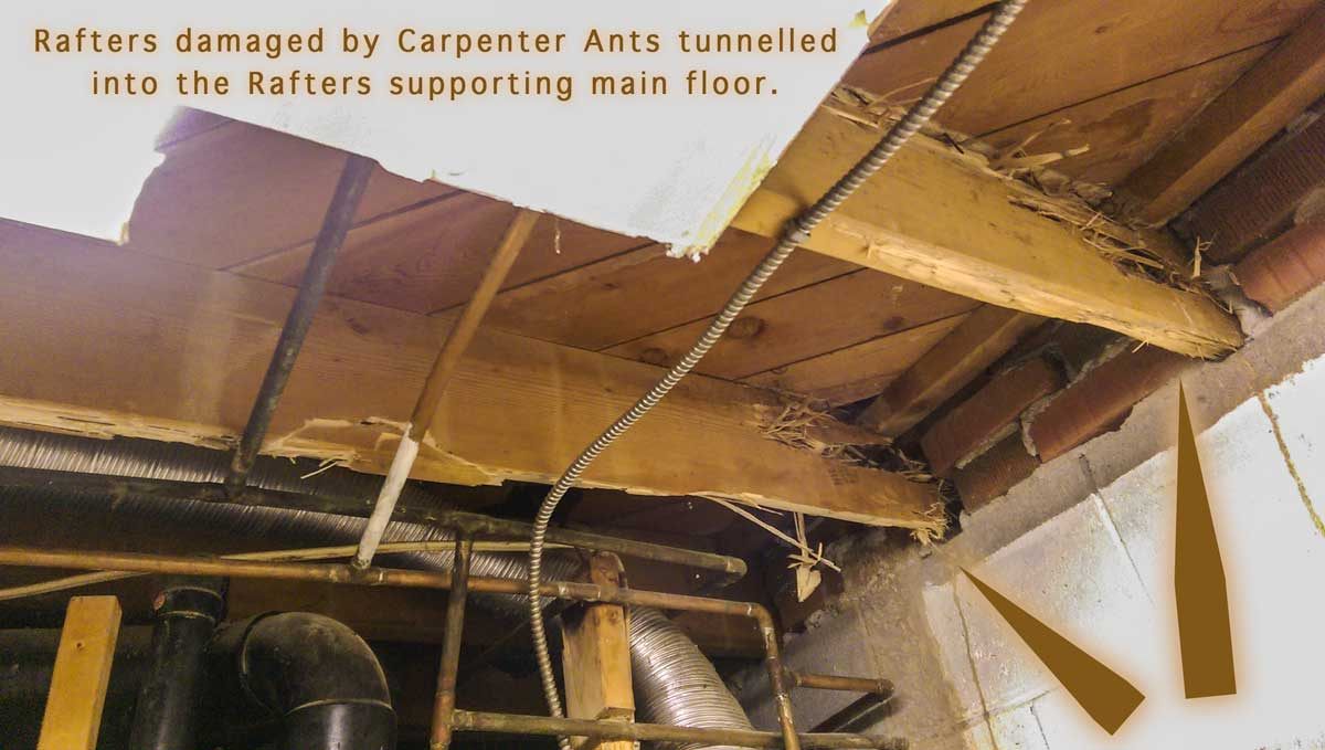 Damaged Rafters by Nesting of Carpenter Ants