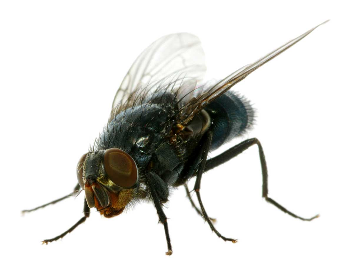 A House Fly