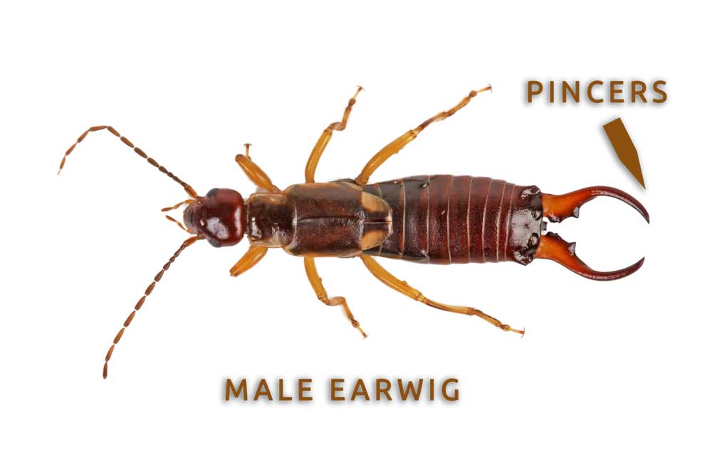 Male Earwig with Curved Pincers
