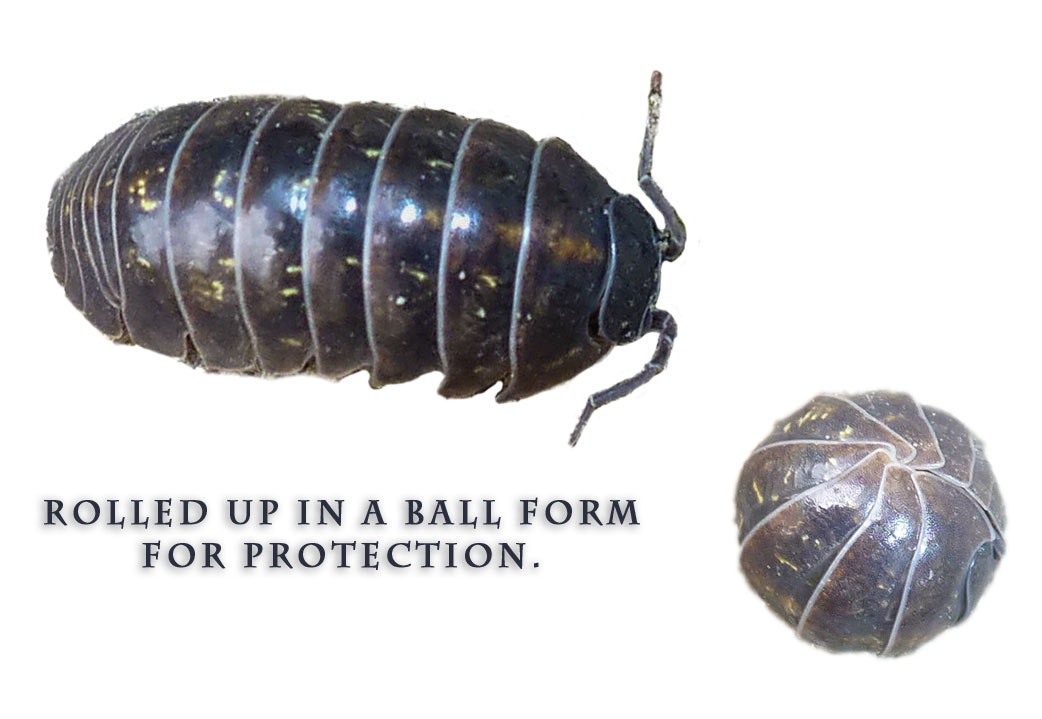 SowBug, PillBug, PotatoBug or Role-Poly