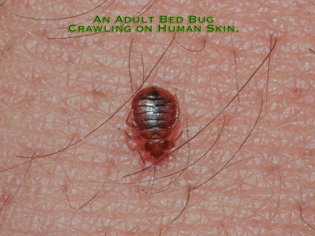 An Adult Bed Bug on Human Skin