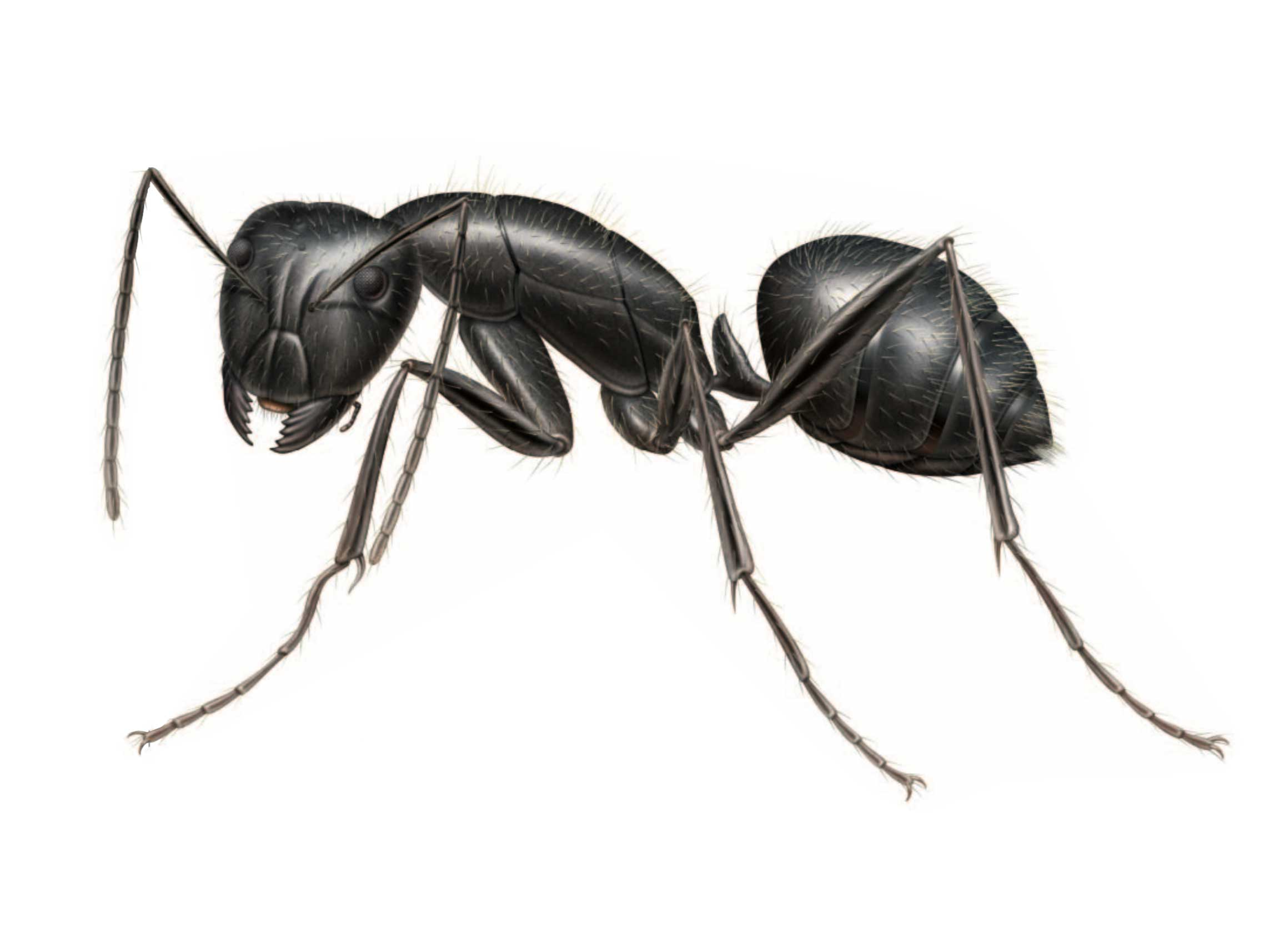 Carpenter Ants Pest Control And Extermination Services