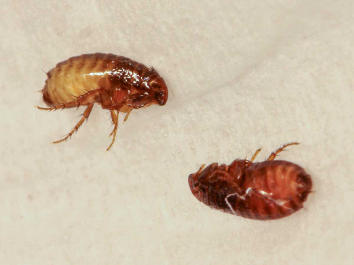 Cat And Dog Fleas Pest Control And Extermination Service