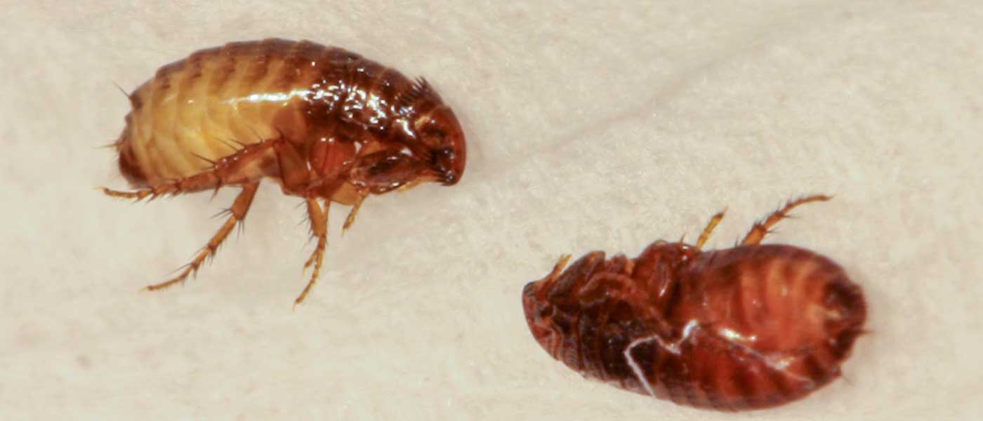 TWO Dead Fleas Laid Close By