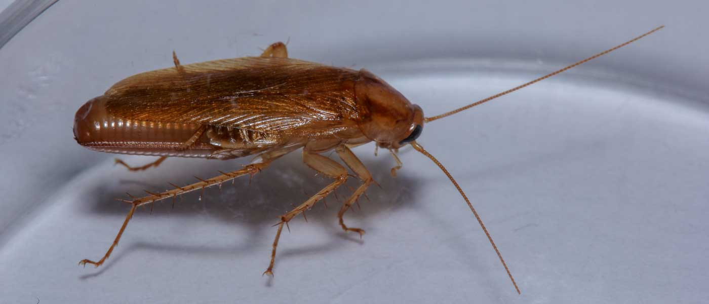 Female German Cockroach