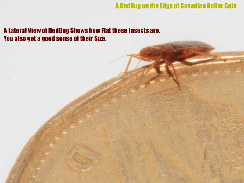 Bed Bug on Canadian Dollar Coin