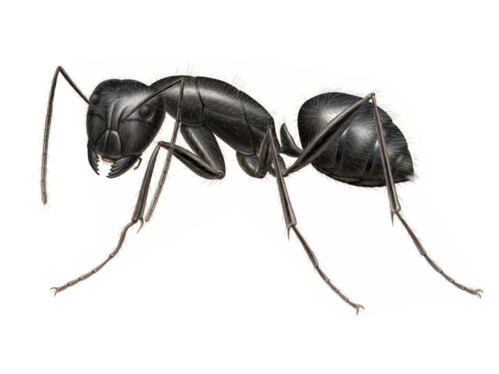 Carpenter Ant Removal Natural