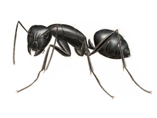 A Black Carpenter Ant