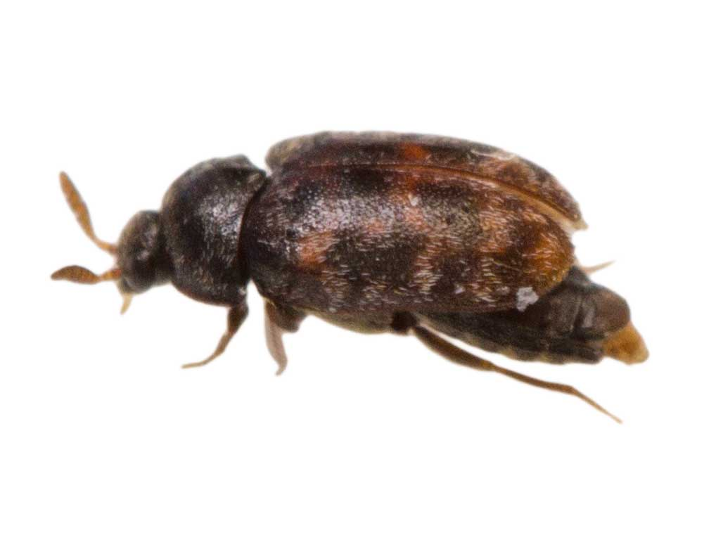Carpet Beetle Pest Control
