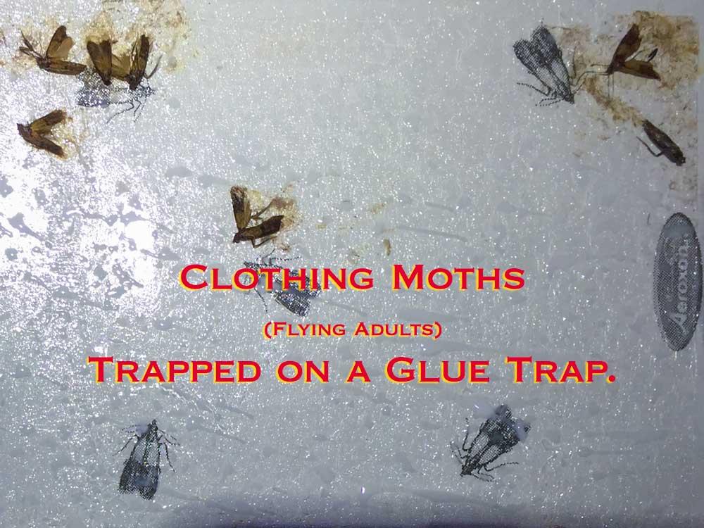 Clothing Moths on Glue Trap