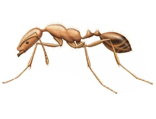 Pharaoh Ant – Pest Control and Extermination Service