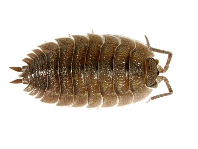 how to get rid of sow bugs in the house