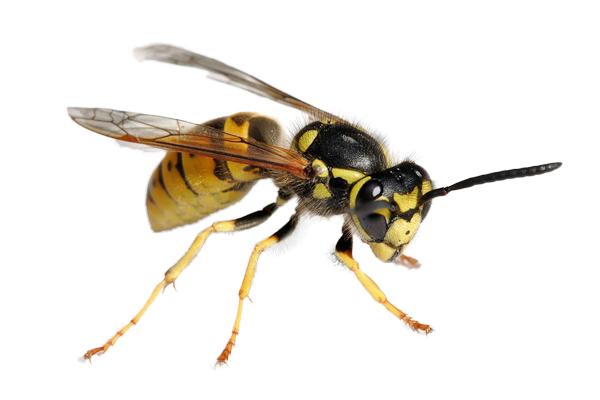 Yellow Jacket Wasps Pest Control And Extermination