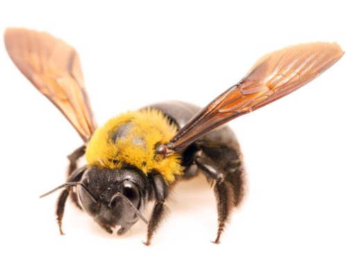 Carpenter Bees Pest Control and Extermination Service