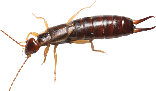 Female Earwig