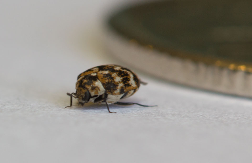 An adult Carpet Beetle with 10 ¢ Coin in Background