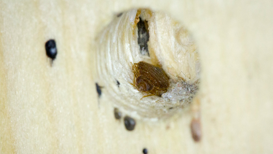 Adult Bed Bug in a Bed frame Hole