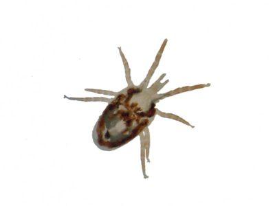 bird mites pest control