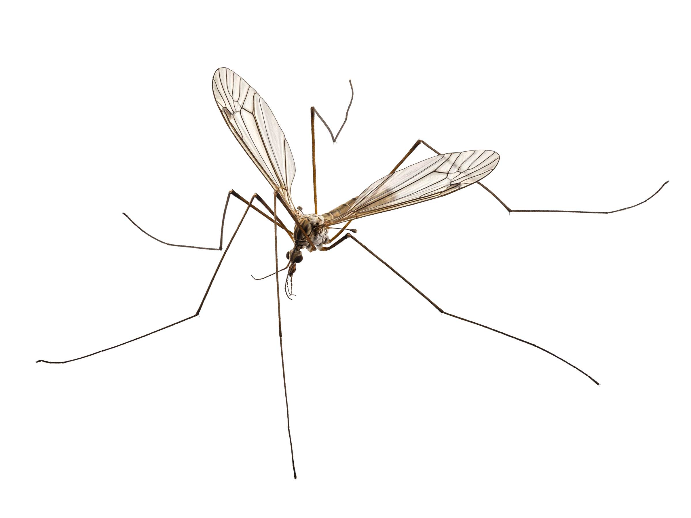 CraneFly - LeatherJacket Pest Control