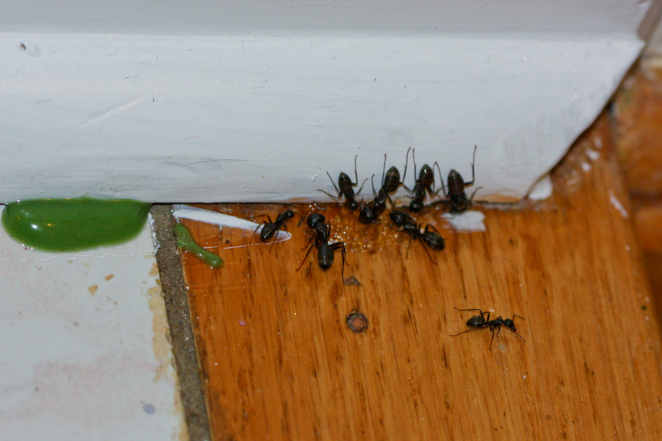 Carpenter Ants feeding on Gel Bait