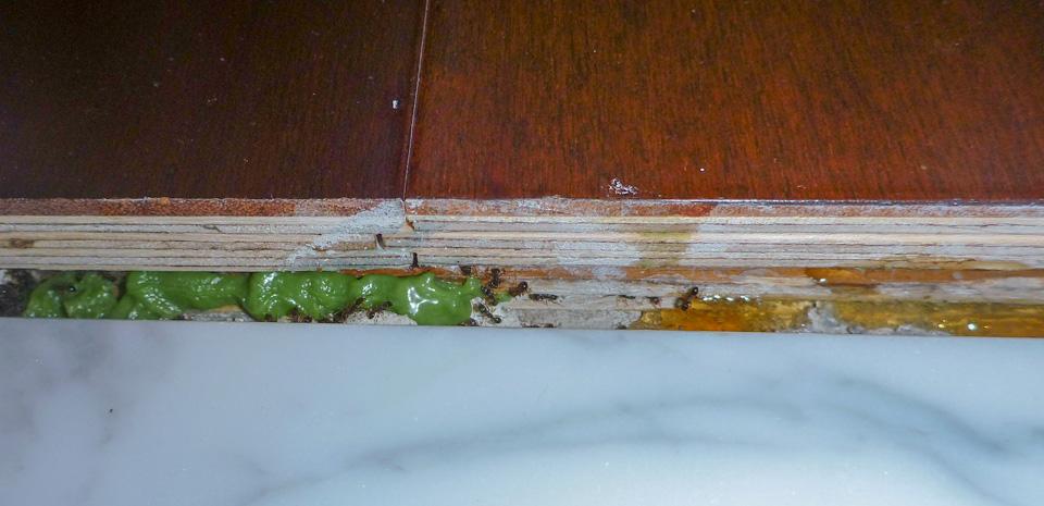 Pavement Ants Feeding upon Bait Indoors