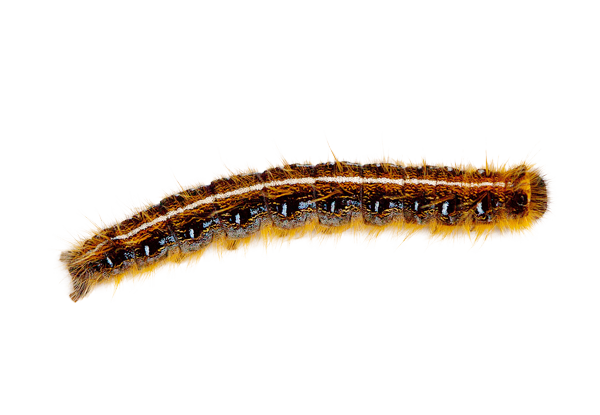 Gypsy Moth Larvae aka Caterpillar