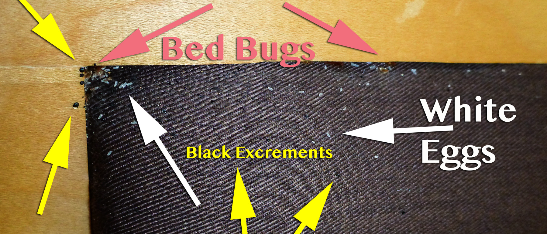 Bed Bug Nest and Excrements